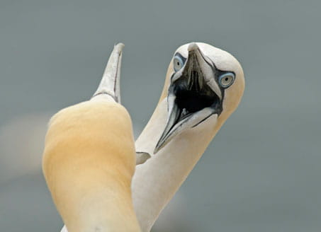 Image of two gannets. Credit: Corbis